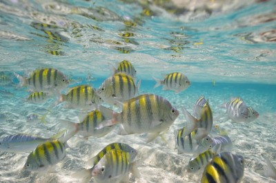 Cayo arena fish